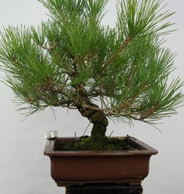 Bonsai Pin noir du Japon, Pinus thunbergii, no. 5722