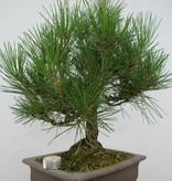 Bonsai Pin noir du Japon, Pinus thunbergii, no. 5723