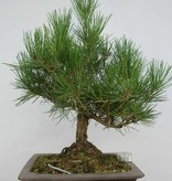 Bonsai Japanese Black Pine, Pinus thunbergii, no. 5723