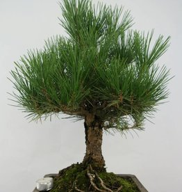 Bonsai Pin noir du Japon, Pinus thunbergii, no. 5724