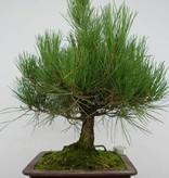 Bonsai Pin noir du Japon, Pinus thunbergii, no. 5725