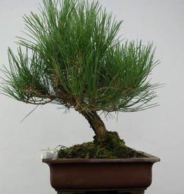Bonsai Japanese Black Pine, Pinus thunbergii, no. 5726