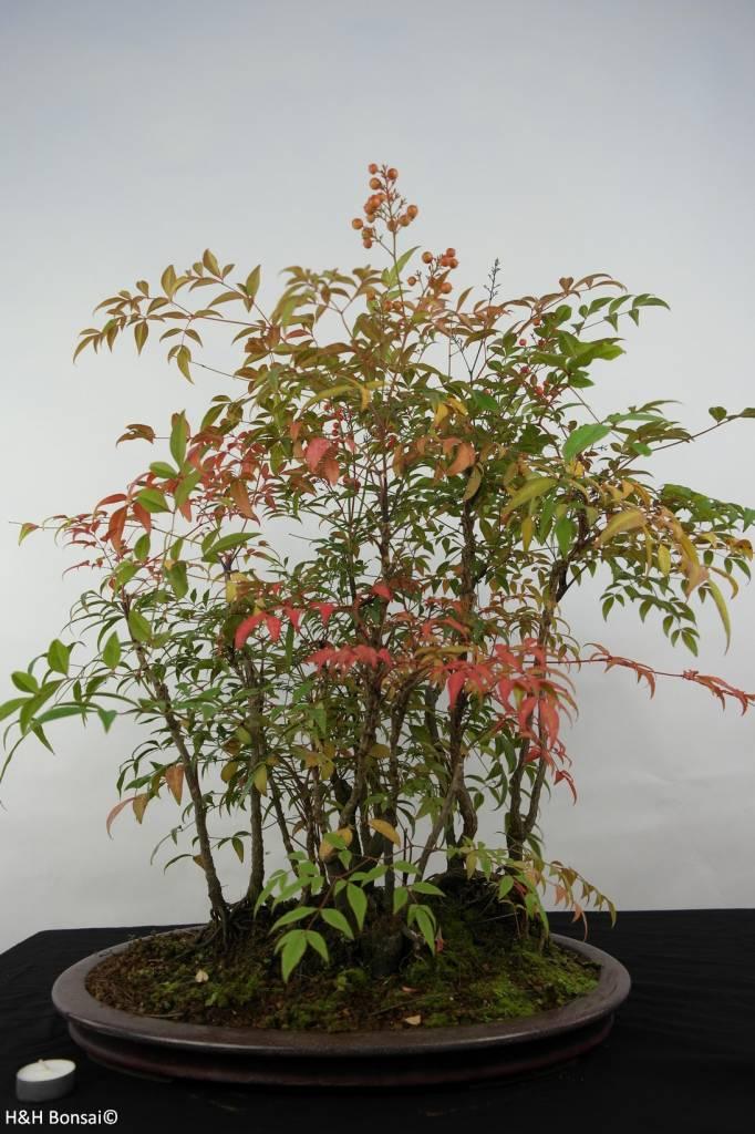 Bonsai Nandina domestica, no. 5731