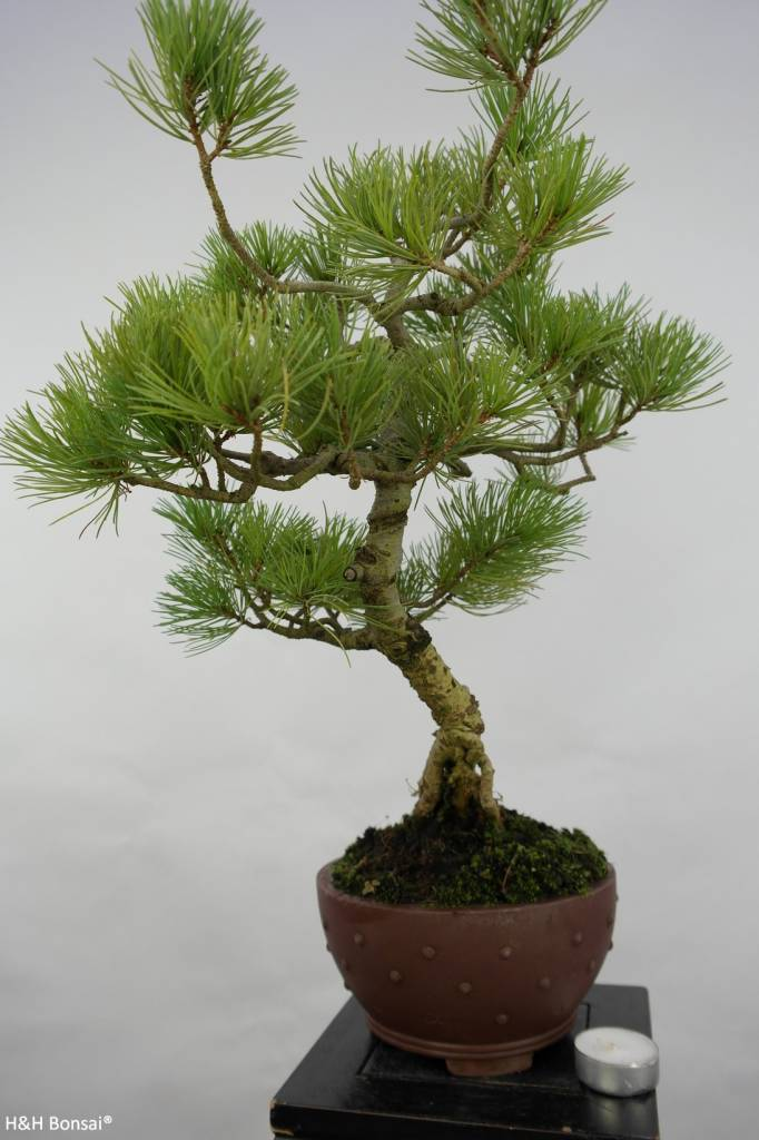 Bonsai Japanese White Pine, Pinus pentaphylla, no. 5762