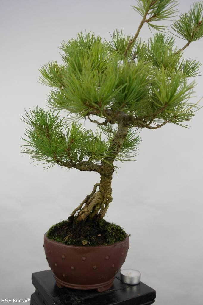 Bonsai Pin blanc du Japon, Pinus pentaphylla, no. 5762