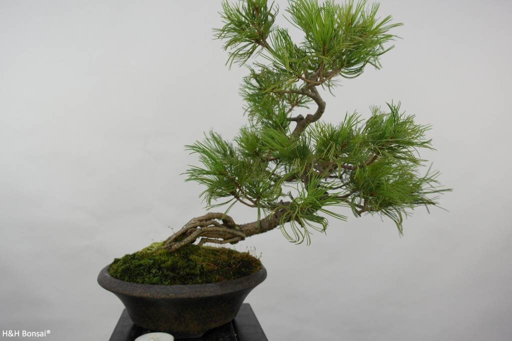 Bonsai Pin blanc du Japon, Pinus pentaphylla, no. 5763