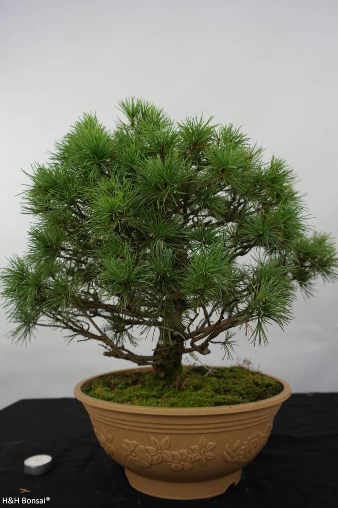Bonsai Pin blanc du Japon, Pinus penthaphylla nasu, no. 5771