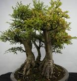 Bonsai Orme de chine, Zelkova,groupe, no. 5783