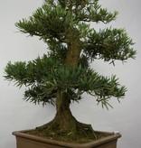Bonsai Buddhist Pine, Podocarpus, no. 5797