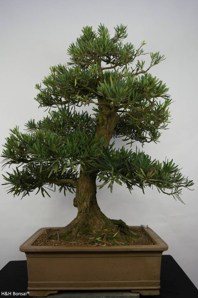 Bonsai Pin des Bouddhistes, Podocarpus, no. 5797