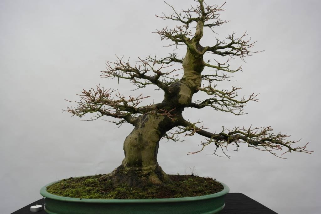 Bonsai l 39 erable du japon acer palmatum no 5508 - L erable du japon ...