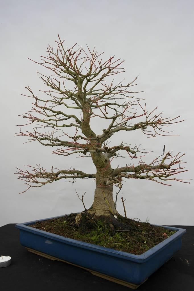 bonsai l 39 erable du japon acer palmatum no 5509. Black Bedroom Furniture Sets. Home Design Ideas