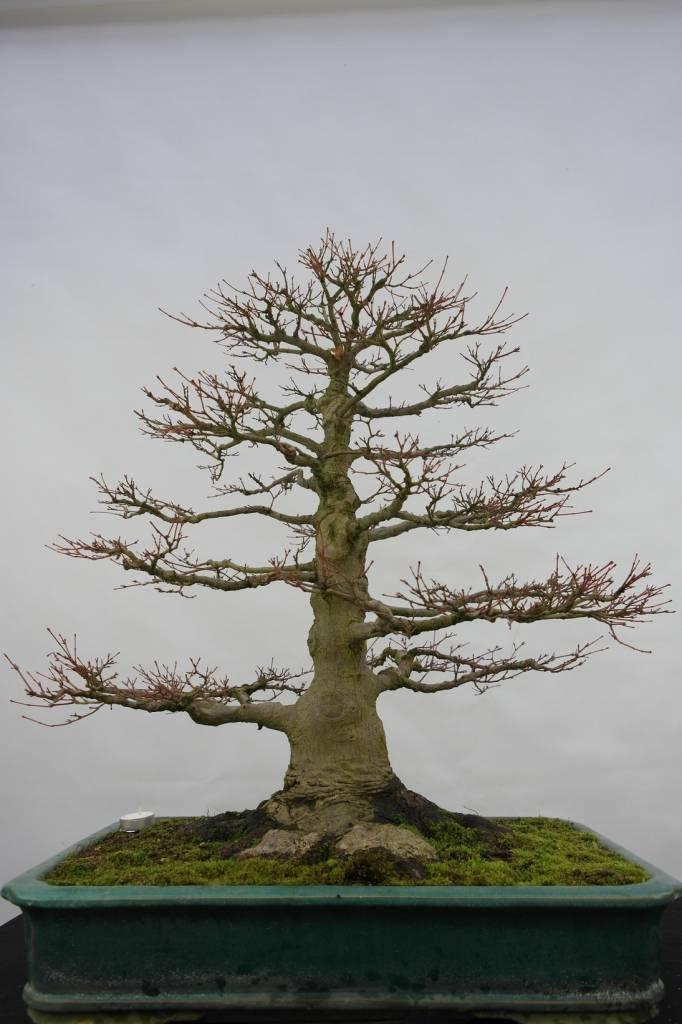 bonsai l 39 erable du japon acer palmatum no 5499. Black Bedroom Furniture Sets. Home Design Ideas
