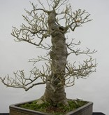 Bonsai Japanese Winterberry, Ilex serrata, no. 5133