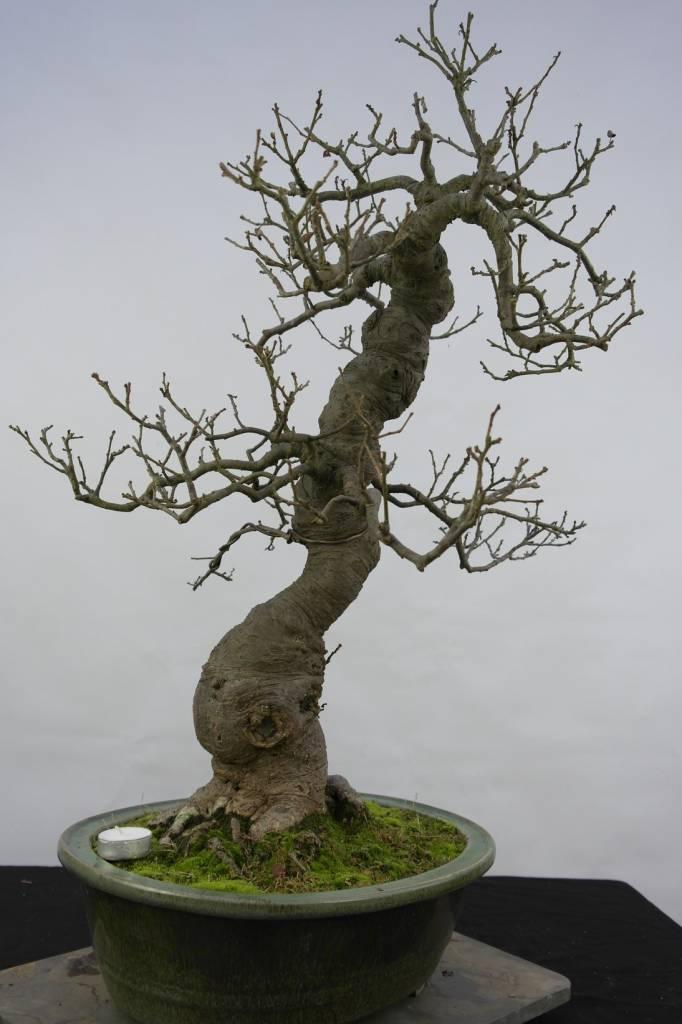 Bonsai Japanese Winterberry, Ilex serrata, no. 5131