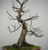 Bonsai Cognassier, Cydonia oblonga, no. 5570