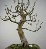 Bonsai Cognassier, Cydonia oblonga, no. 5234