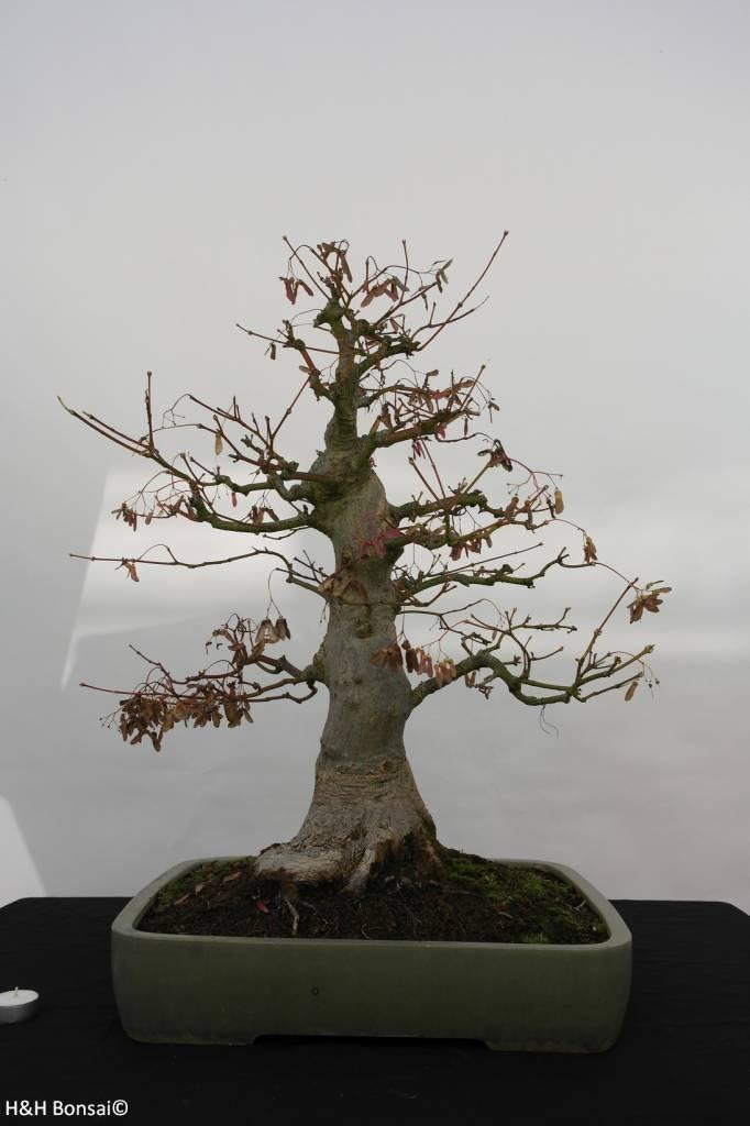 bonsai l 39 erable du japon acer palmatum no 5805. Black Bedroom Furniture Sets. Home Design Ideas