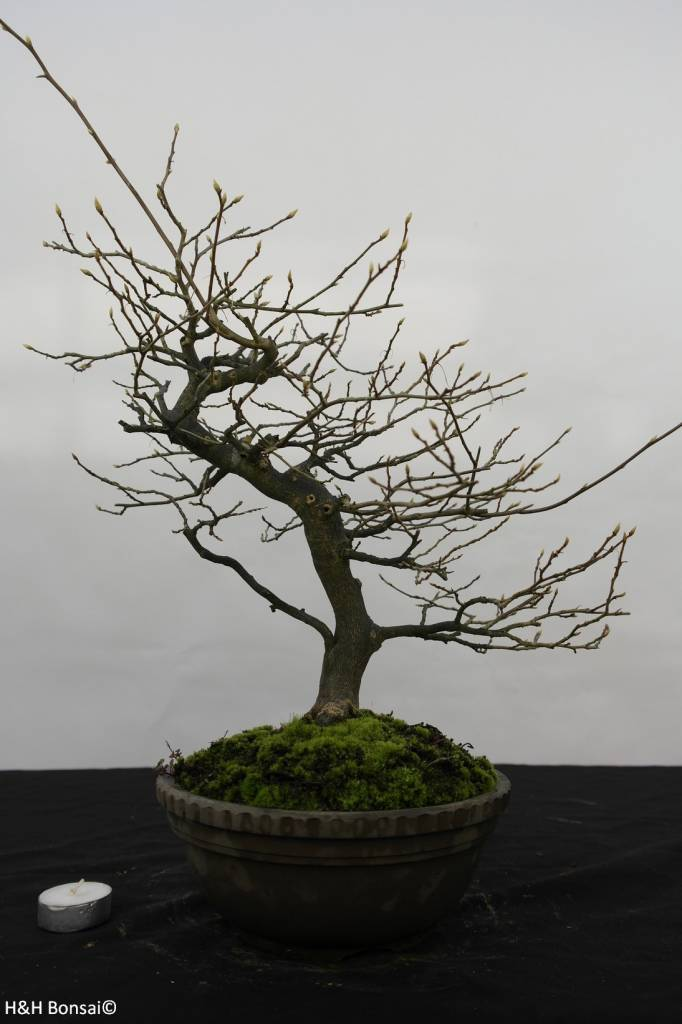 Bonsai Diospyros kaki, Lotus kaki, no. 5815