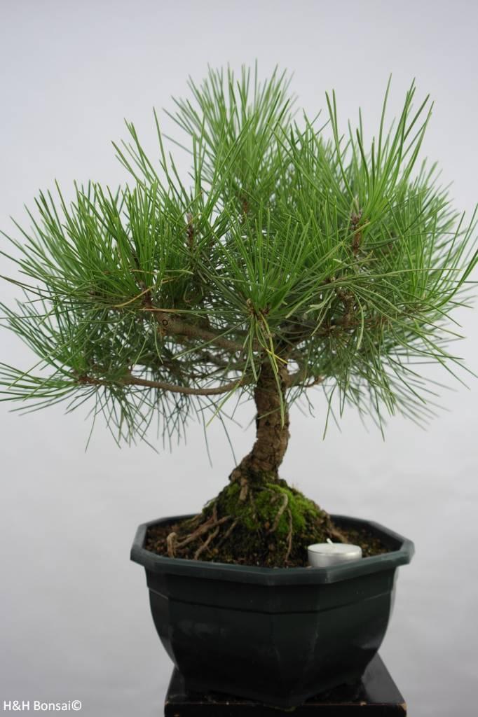 Bonsai Japanese Black Pine, Pinus thunbergii, no. 5818