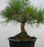 Bonsai Pin noir du Japon, Pinus thunbergii, no. 5818