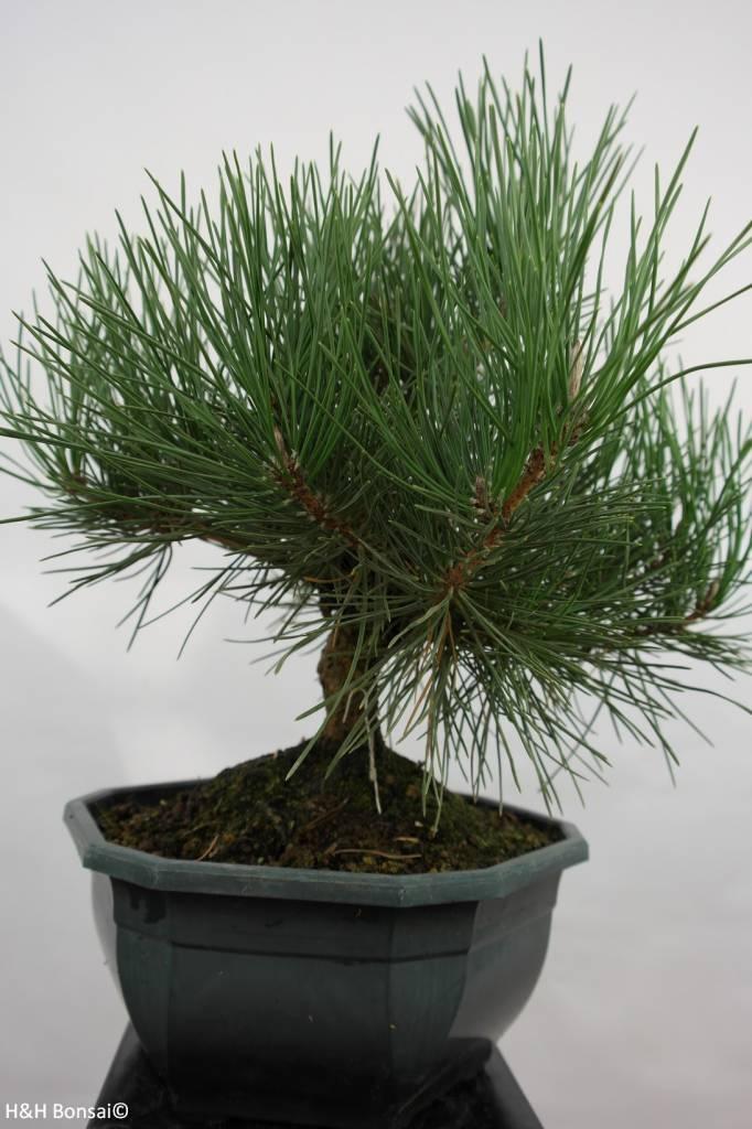 Bonsai Pin noir du Japon, Pinus thunbergii, no. 5820