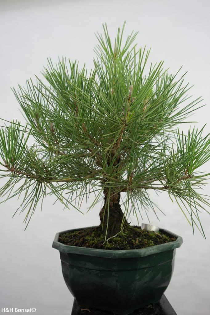 Bonsai Pin noir du Japon, Pinus thunbergii, no. 5822