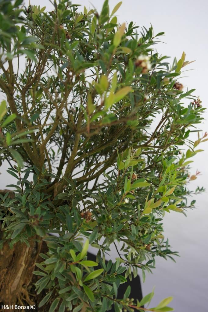 Bonsai Syzygium sp. , no. 5828