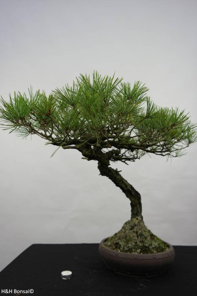 Bonsai Pin rouge du Japon, Pinus densiflora, no. 5840