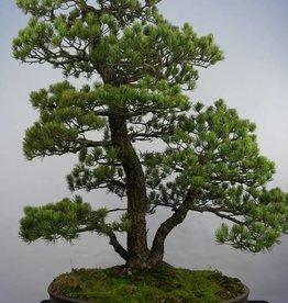 Bonsai Pin blanc du Japon, Pinus pentaphylla, no. 5844