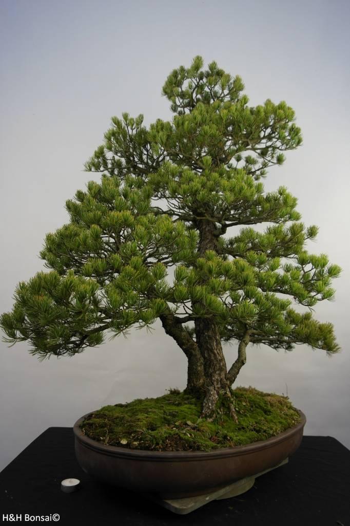 Bonsai Japanese White Pine, Pinus pentaphylla, no. 5844