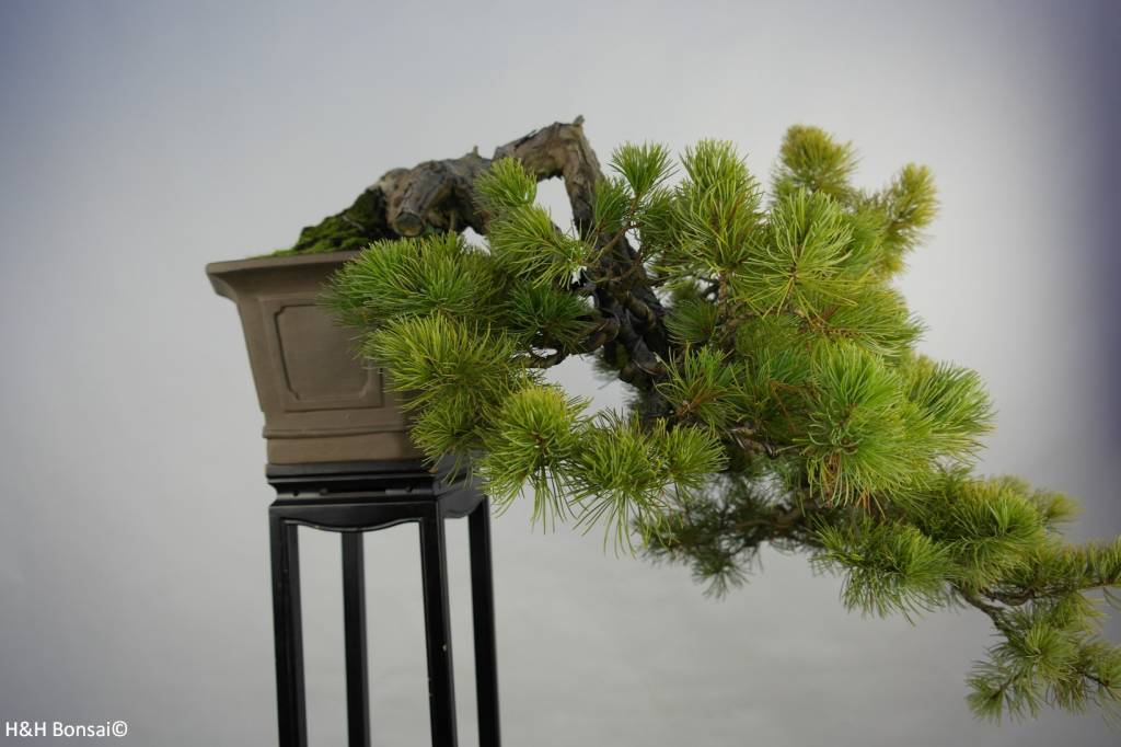 Bonsai Pin blanc du Japon, Pinus pentaphylla, no. 5848