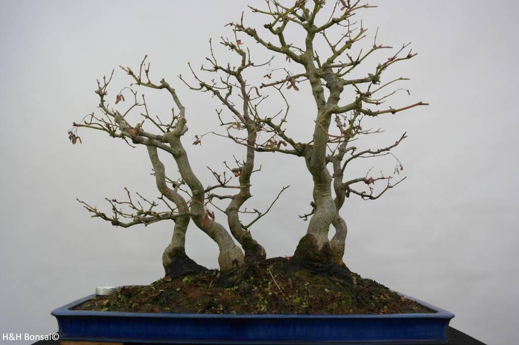 bonsai l 39 erable du japon acer palmatum no 5850. Black Bedroom Furniture Sets. Home Design Ideas