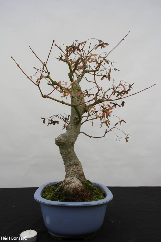 bonsai l 39 erable du japon acer palmatum no 5851. Black Bedroom Furniture Sets. Home Design Ideas
