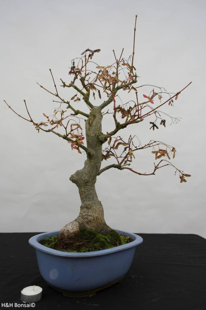 Bonsai Japanese maple, Acer palmatum, no. 5851