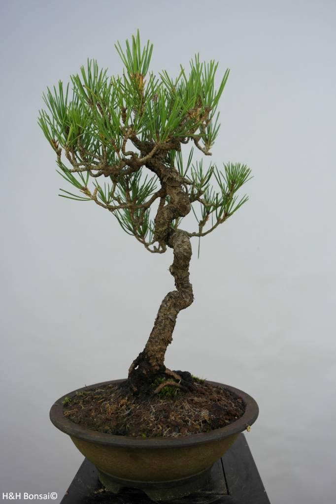 Bonsai Pin noir du Japon, Pinus thunbergii, no. 5855