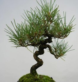 Bonsai Shohin Japanese Black Pine, Pinus thunbergii, no. 5856