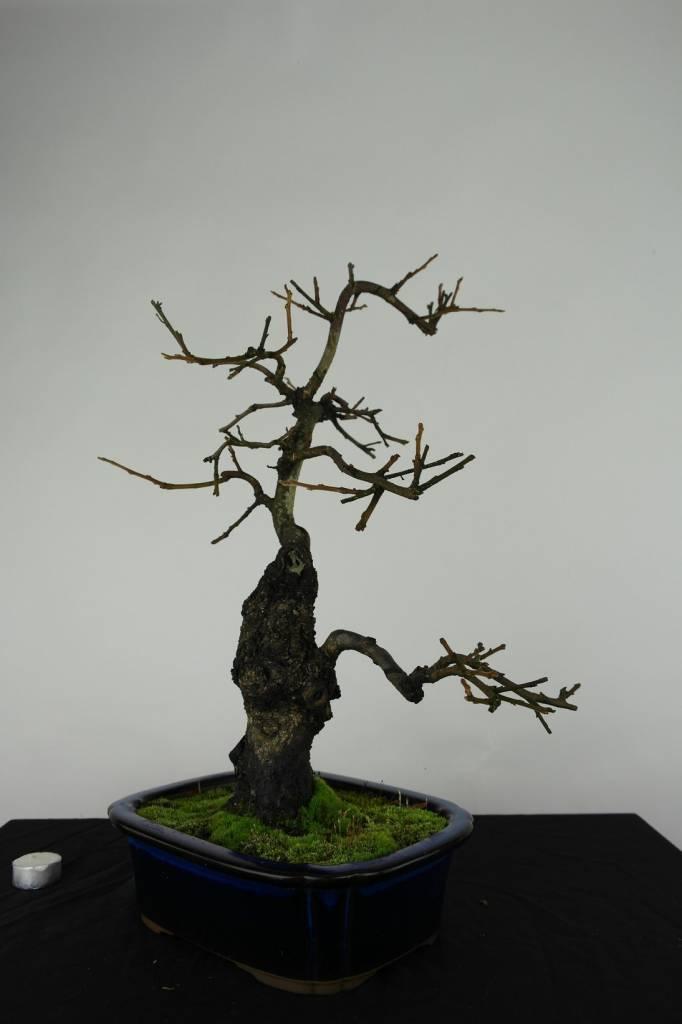 Bonsai Diospyros kaki, no. 4531