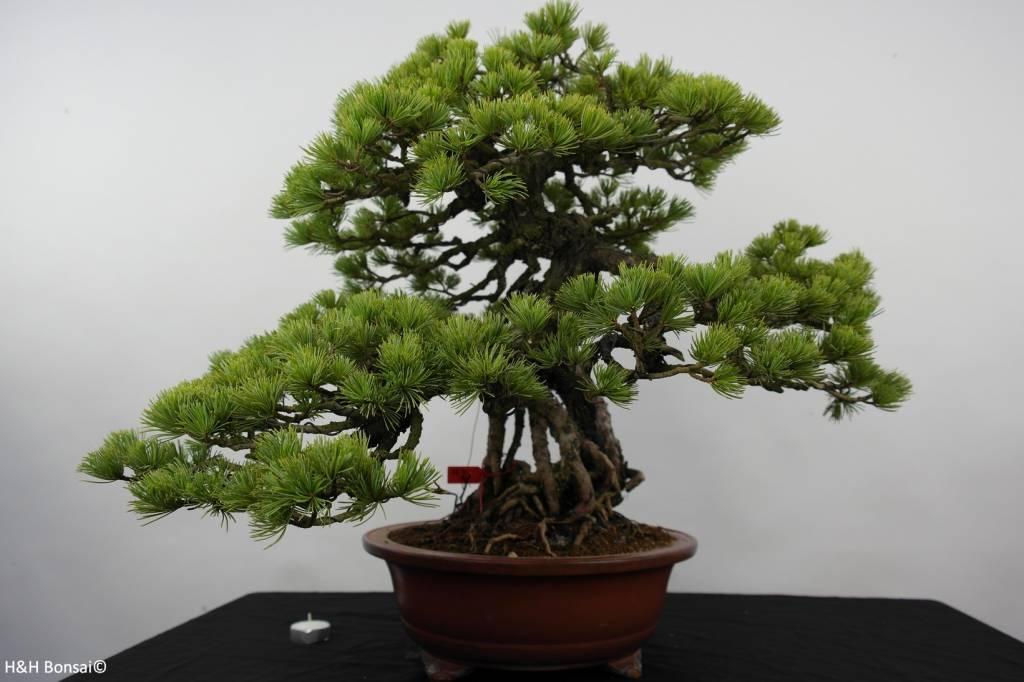 Bonsai White pine, Pinus parviflora, no. 5894