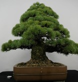 Bonsai Pin blanc du Japon, Pinus parviflora, no. 5895