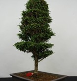 Bonsai Cyprès, Chamaecyparis sp. , no. 5897