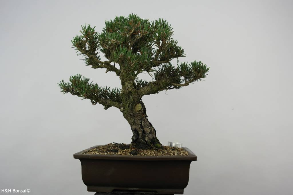 Bonsai Pin noir du Japon kotobuki, Pinus thunbergii kotobuki, no. 5899