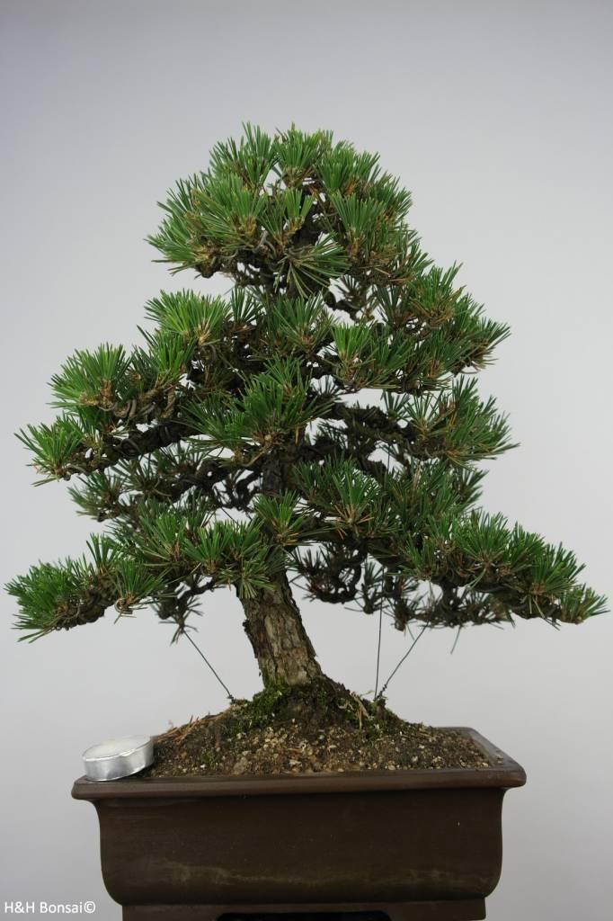 bonsai pin noir du japon kotobuki pinus thunbergii. Black Bedroom Furniture Sets. Home Design Ideas
