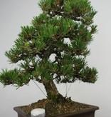 Bonsai Pin noir du Japon kotobuki, Pinus thunbergii kotobuki, no. 5905
