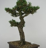 Bonsai Japanese Kotobuki Black Pine, Pinus thunbergii kotobuki, no. 5907