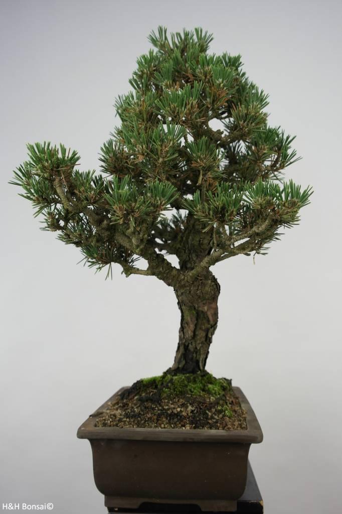 Bonsai Japanese Kotobuki Black Pine, Pinus thunbergii kotobuki, no. 5908