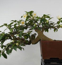 Bonsai Camélia du Japon, Camellia japonica, no. 5537