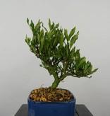 Bonsai Shohin Gardenia, no. 5961