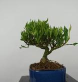 Bonsai Shohin Gardenia, no. 5963