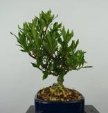 Bonsai Shohin Gardenia, no. 5964